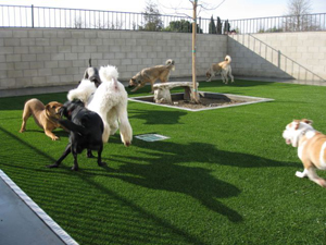Artificial Pet Turf Gives Dogs the Perfect Place to Run and Play / Dogs Play in Bakersfield, CA on Artificial Grass Thanks to a Pet Turf Installation from Southwest Greens